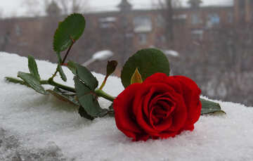 Rose and winter in the city №16939