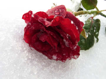Winter rose on the desktop №16994