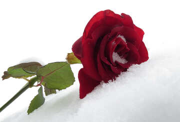 Rose on winter holiday №16962