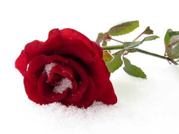 Rose on Valentine`s Day №16963