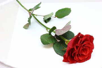 Rose su pezzo di carta №16890