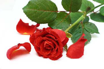 Und Rosenblüten №16874