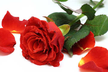 Rose petals №16876