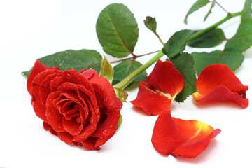 Rose petals №16878
