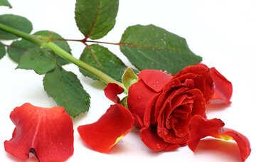 Mit Rosenblättern gefallen №16871