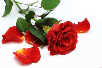 Red rose petals №16877