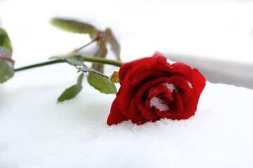 Helle rote Rosen und Schnee №16967
