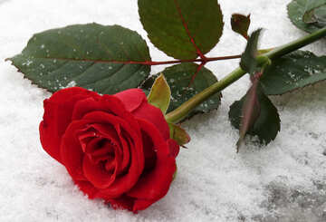 Bright red rose in the snow in winter №16932