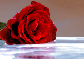 Rose flower on water №16908