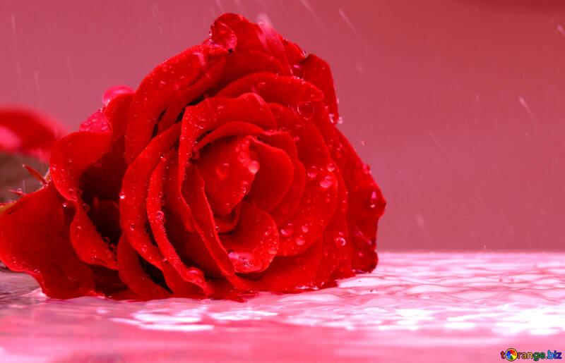 Rose desktop walpaper №16906
