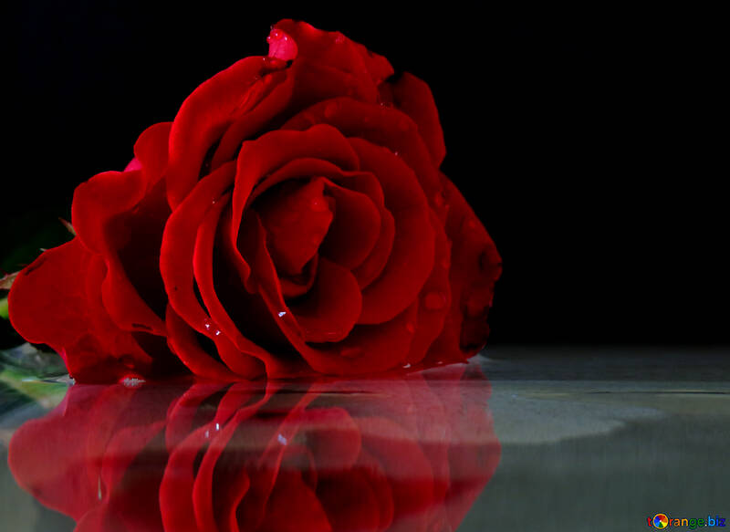 Reflection roses №16917