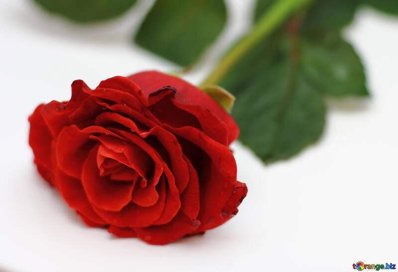 Bright Rose №16896