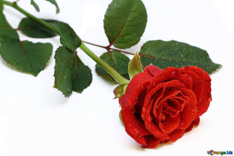 Роза с каплями изолированно №16881