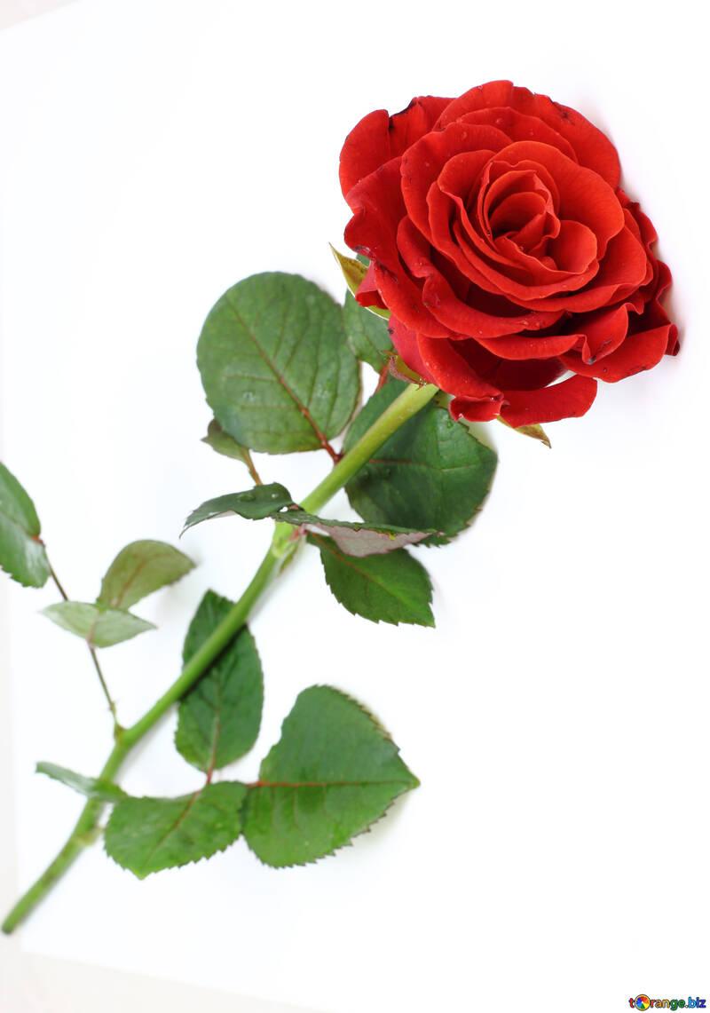 Schöne rote rose №16891