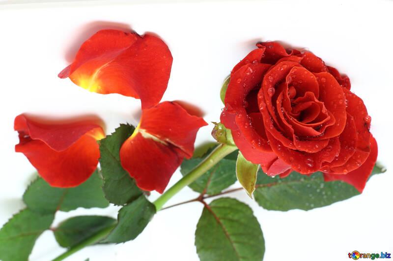 Rose an der Decke №16879