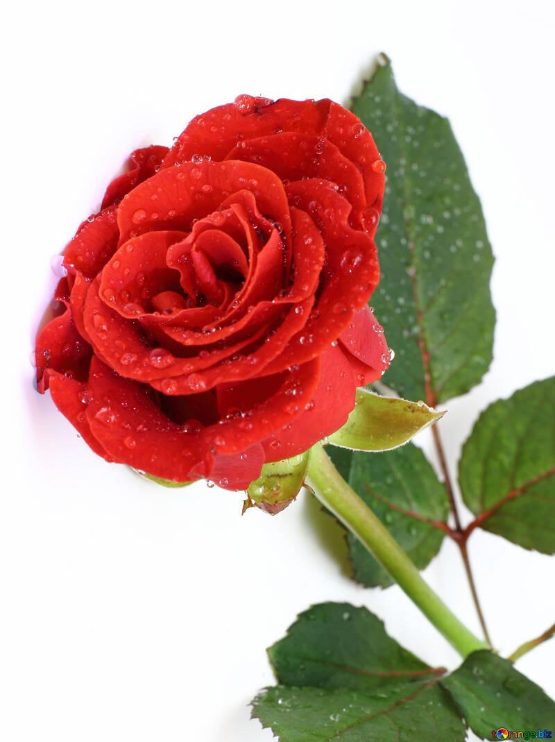 Rose flower drops №16883