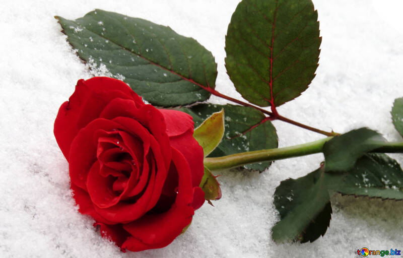 Snow on red rose №16933