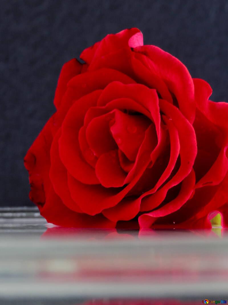 Rosa suave №16921
