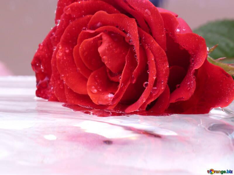 Rosa sobre las olas №16901