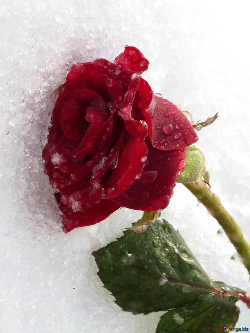 Анимация картинки роза на снегу, надписями про