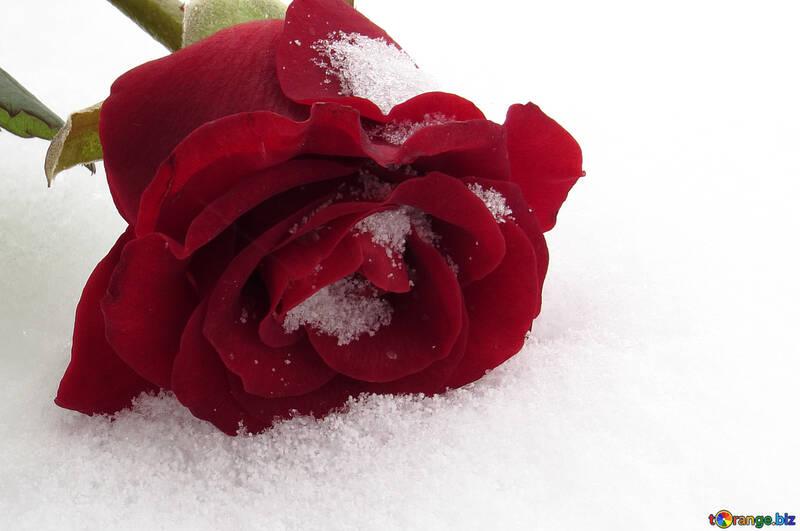Роза на десктоп №16958