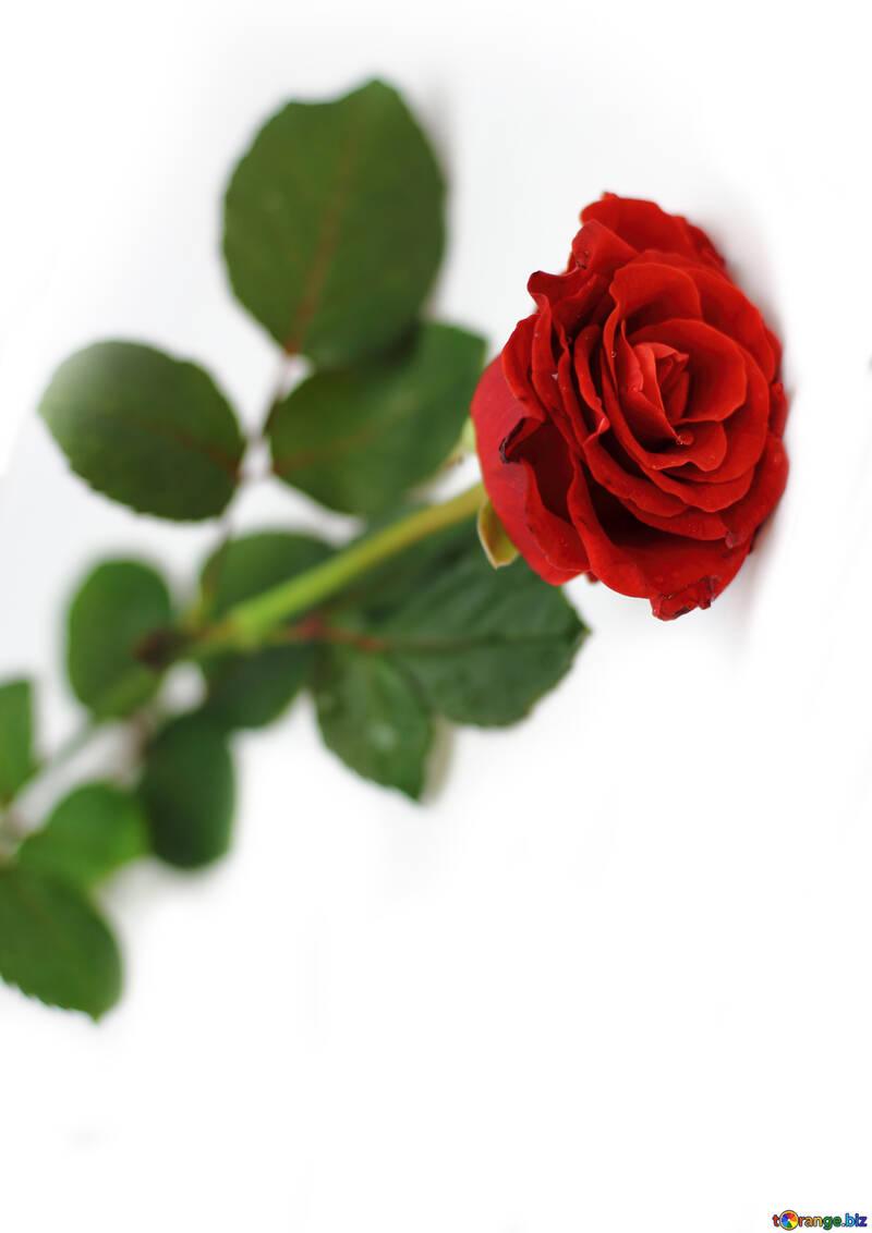 Un Intero Salito Su Uno Sfondo Bianco Rosa Rossa Rosa 16895