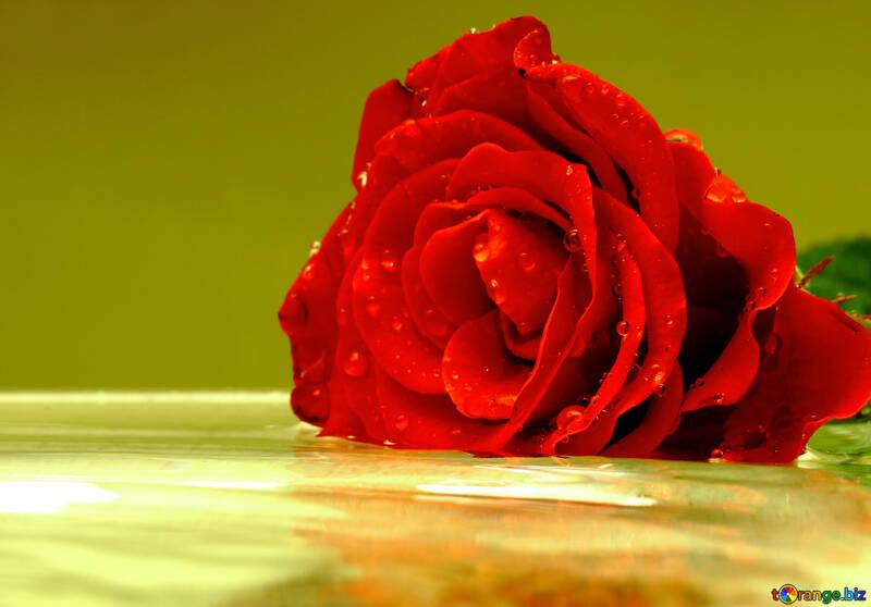 Farbigem Hintergrund mit rose №16909