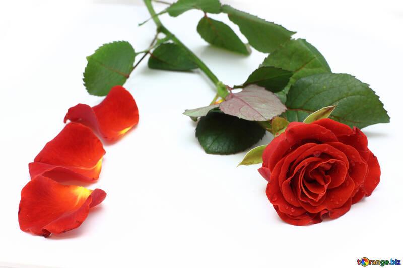 Hintergrund der Postkarten auf weißen Blütenblättern der rose und rose №16842