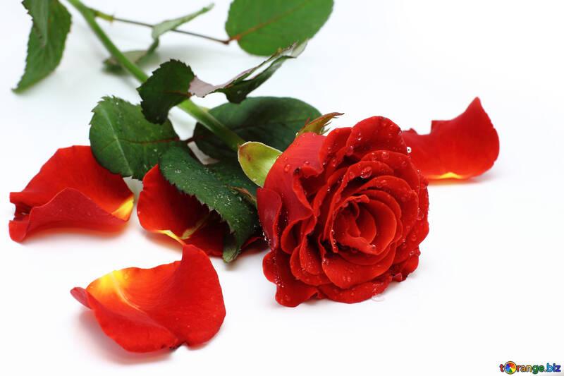 Rote Rosenblüten №16877