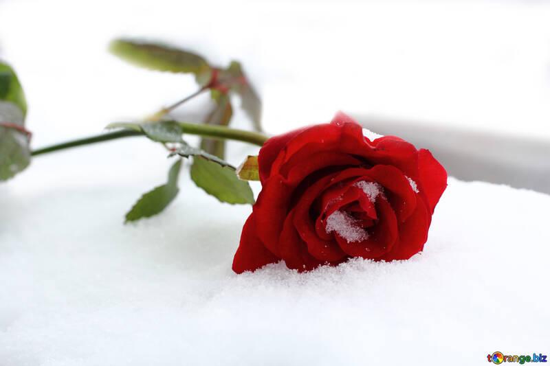 Днем рождения, розы в снегу открытки