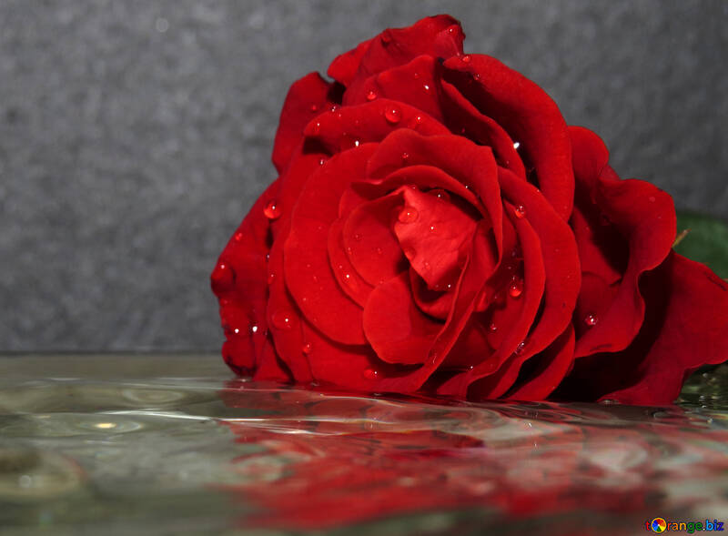 Rose with reflection in water №16915