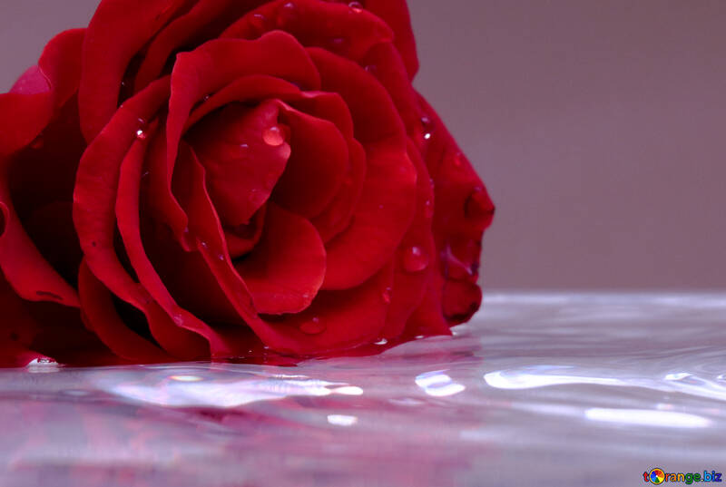Rose on water №16911