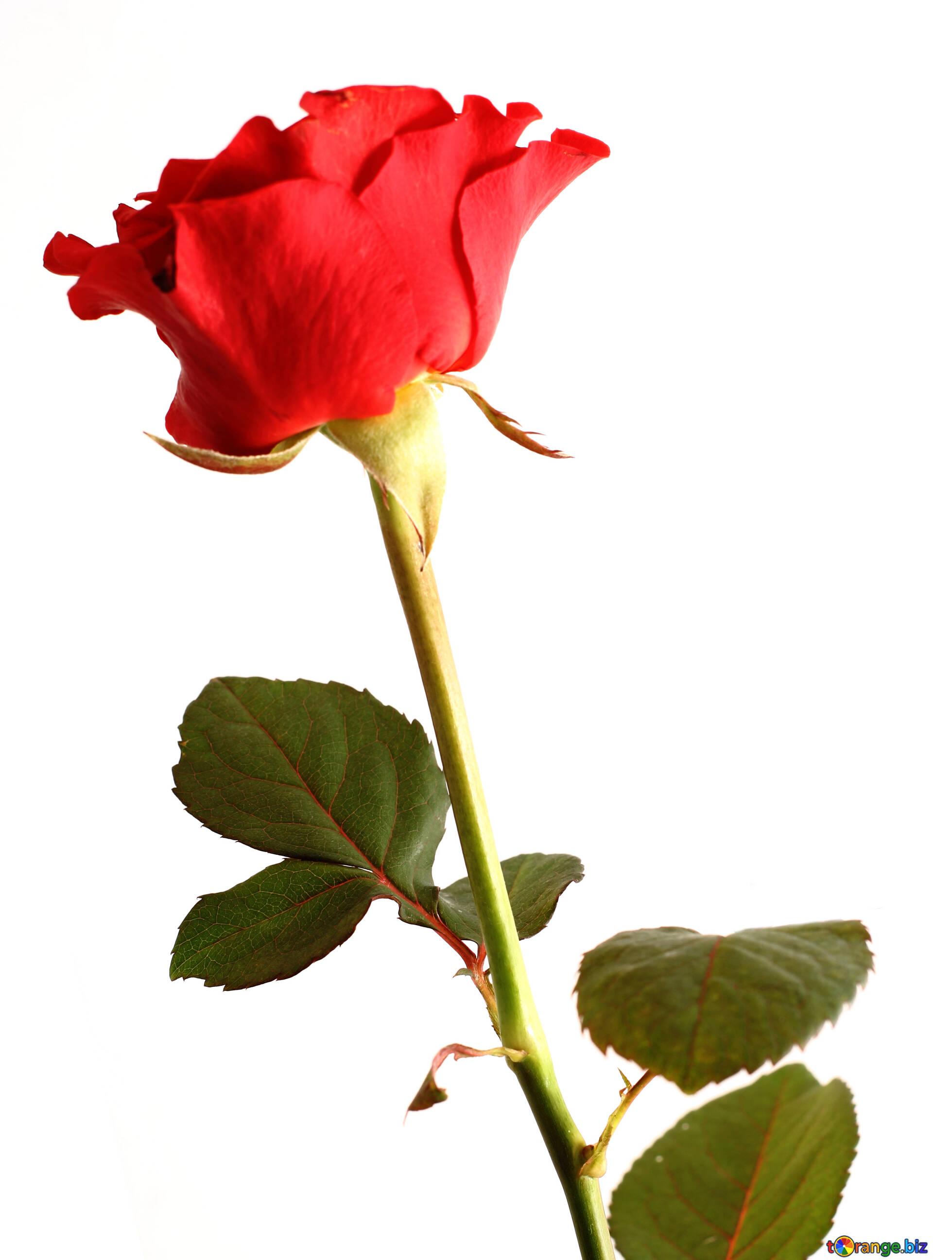 flores rosas aislados flor hermosa flor rosa 17059