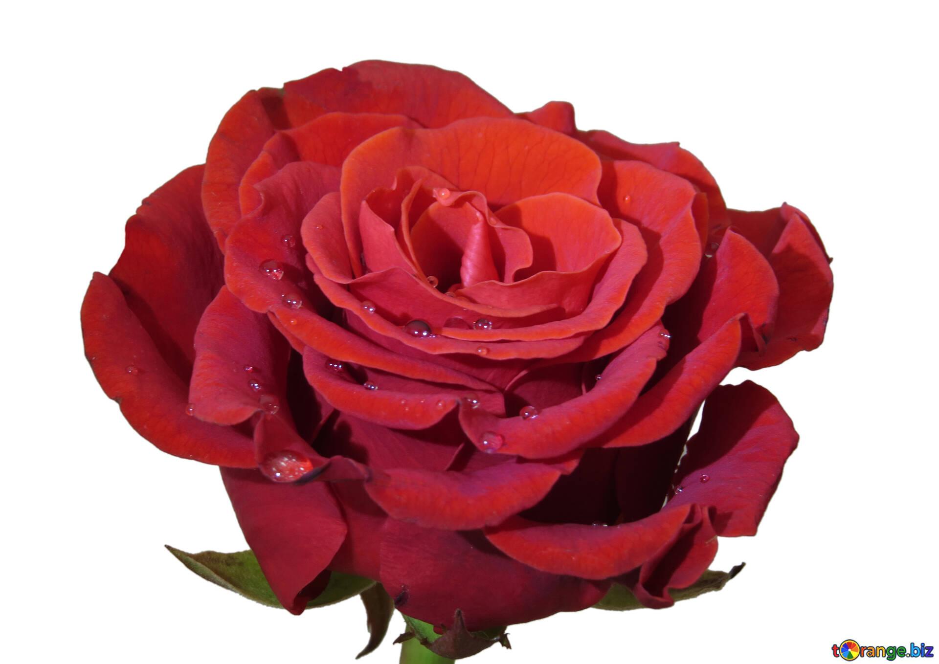 Днем рождения, картинка цветов розы для детей