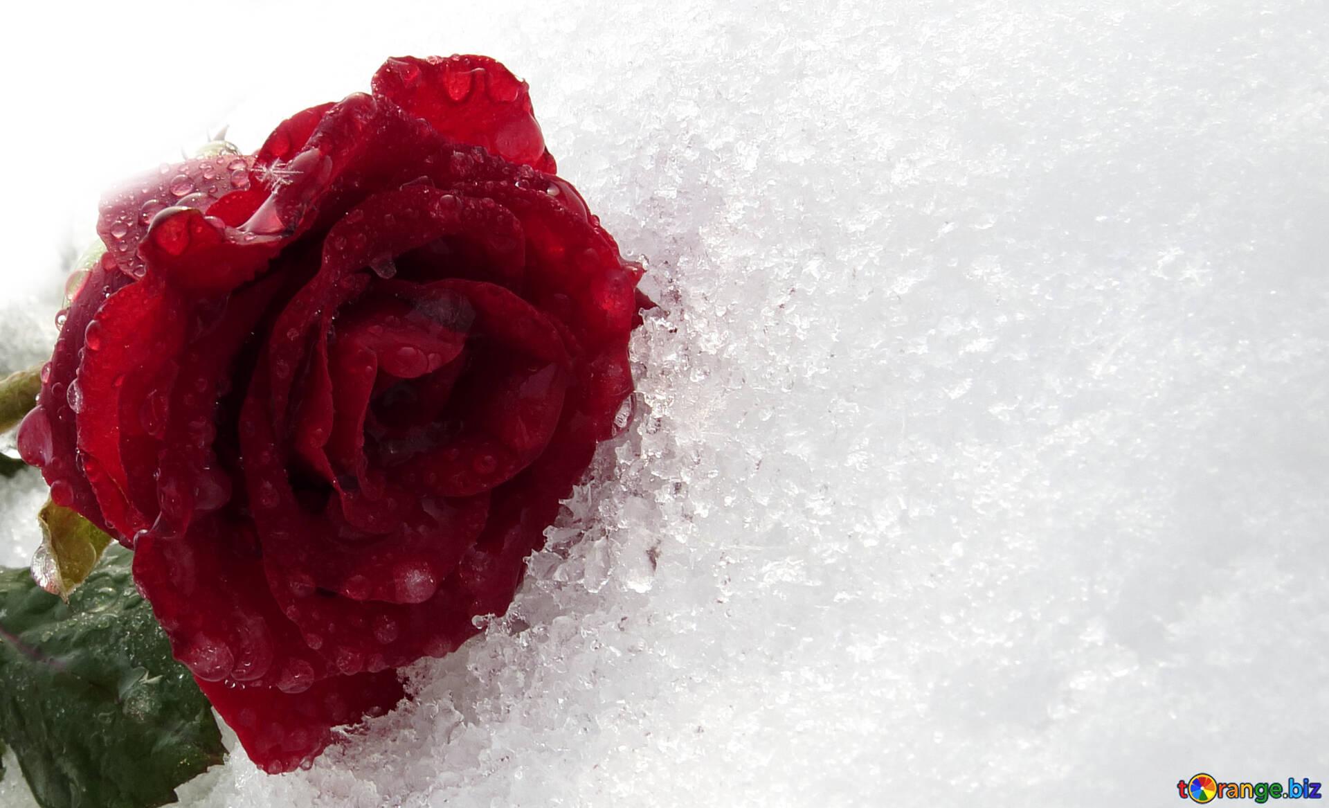 Розы на снегу картинки фото, открытка