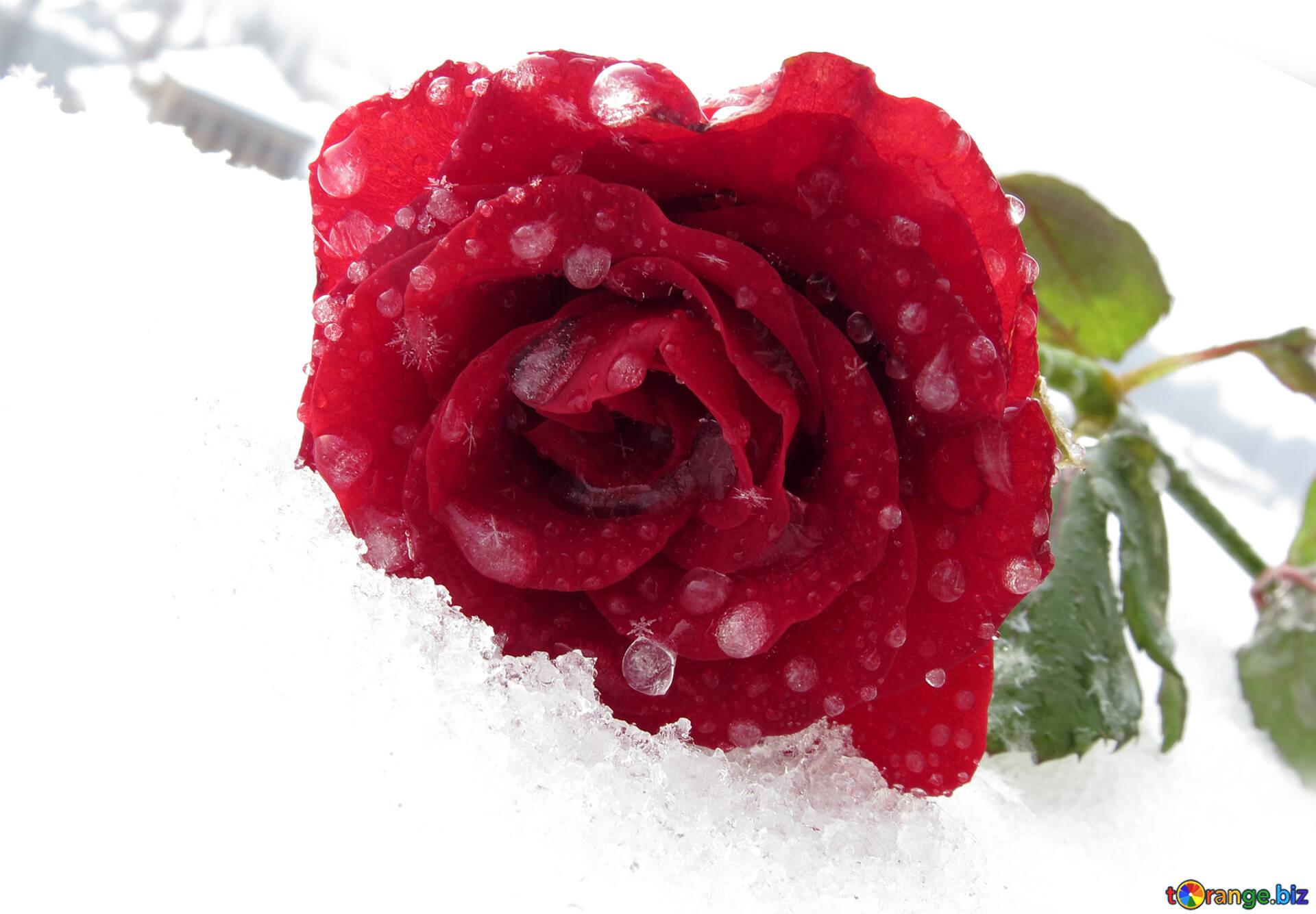 Картинка розы на снегу