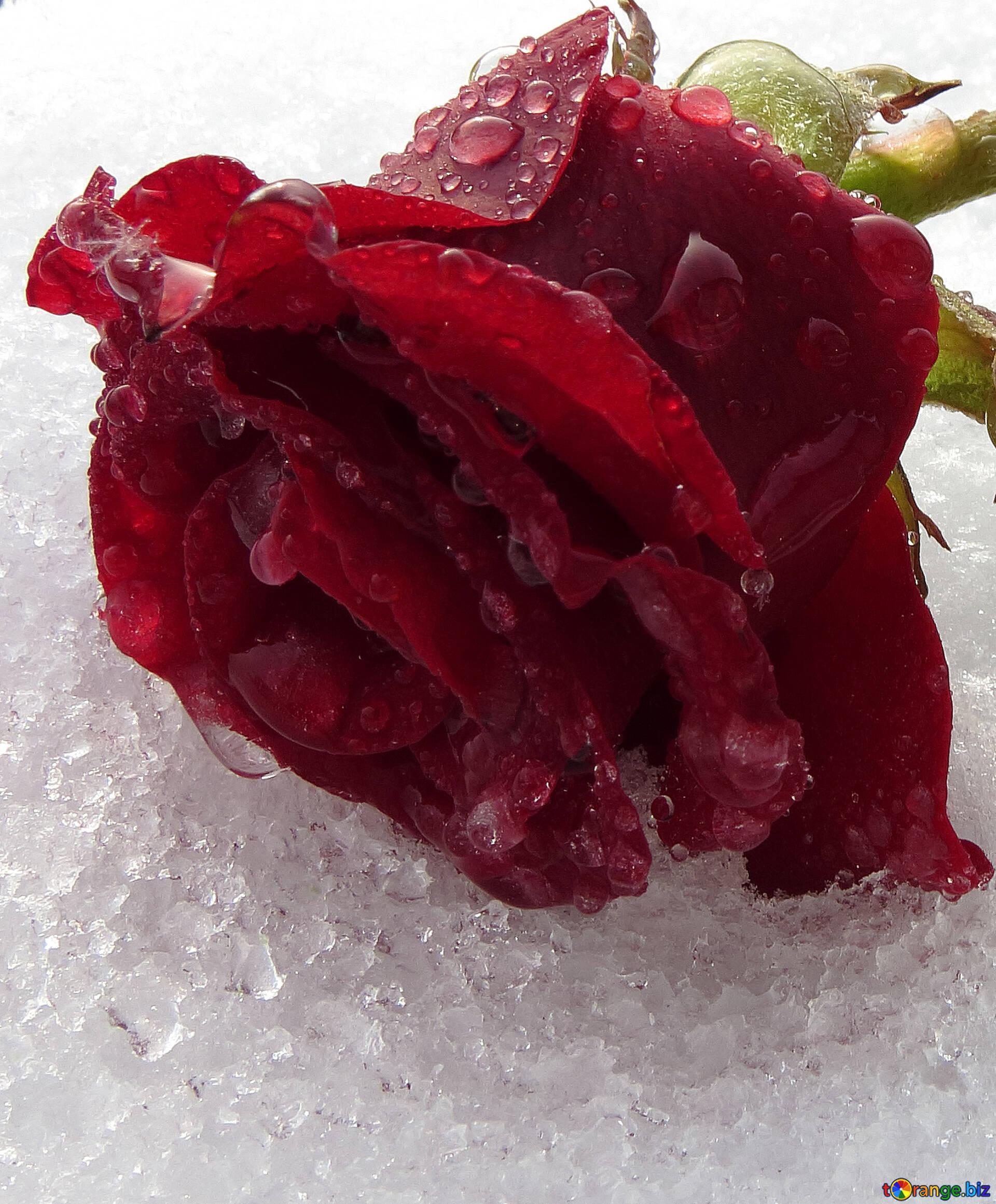 Картинки ледяные розы