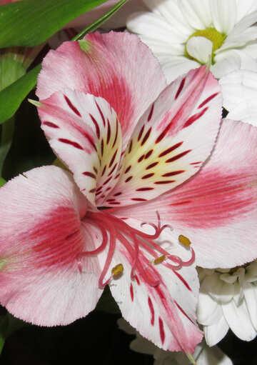 Alstroemeria flower №17810
