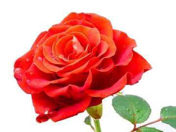 Blume für Blumenstrauß №17107
