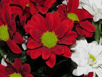 Pyrethrum Blume №17811