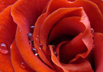 Rose wallpaper for desktop №17114