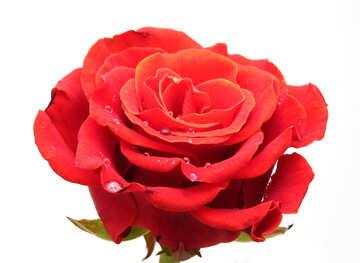 Open flower roses №17132