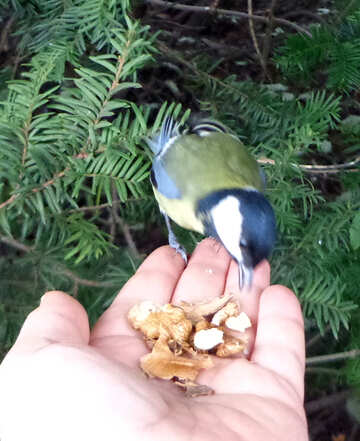 Titmouse eats nut with the Palm of your hand №17886