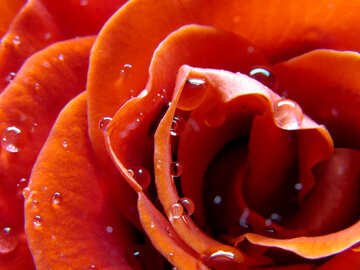 Large rose with water drops №17084