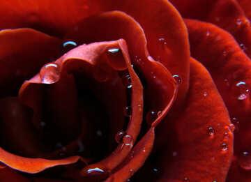 Big Rose №17085