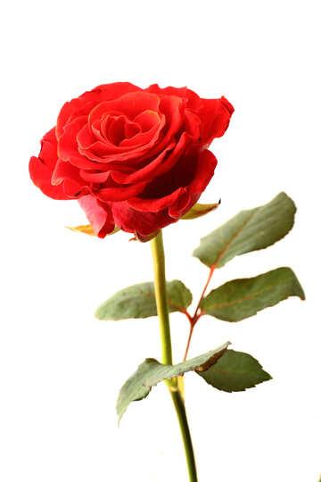 Цветок розы №17043