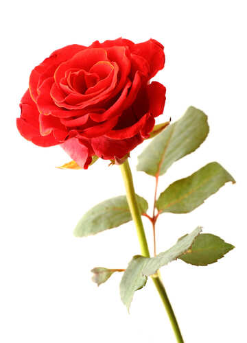 Bright Rose №17041