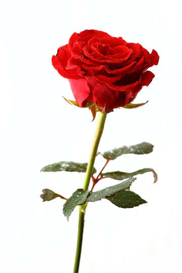 Elegante Rose №17038