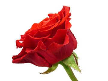 Fresh Rose №17104