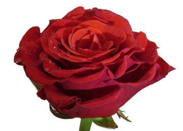 Fresh Rose №17127